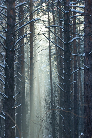 .Winter morning in a pine forest.