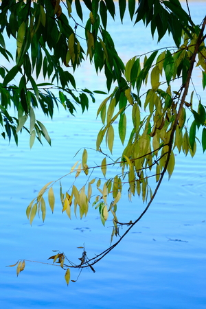 Branches of willow hanging over the water.Autumn.