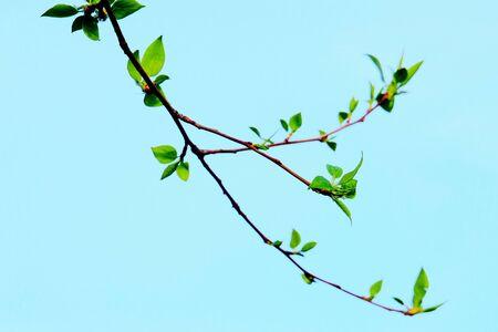 Springtime. Fresh spring leaves on a tree branch, Standard-Bild