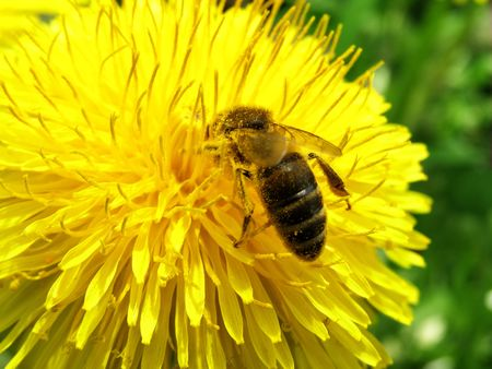 kerf: bees the best zbirachi of nectar in the world
