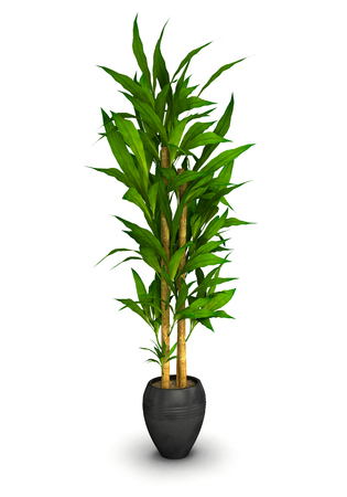potting soil: Plant in a black pot isolated on white background.3D illustration.
