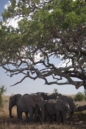 under the tree: 052 animales de elefantes bajo un �rbol