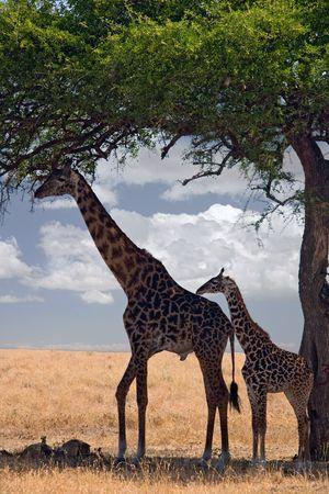 under the tree: 047 animales jirafa bajo un �rbol  Foto de archivo