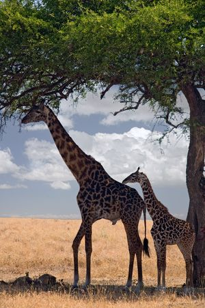 animals 047 giraffe under tree