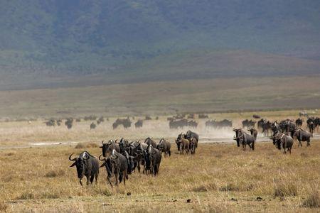 wildebeest: animals 071 wildebeest.