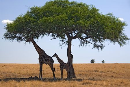 under the tree: 049 animales jirafa bajo un �rbol