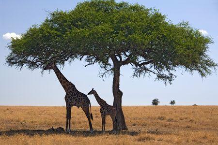 sotto l albero: 049 giraffa animali sotto albero Archivio Fotografico