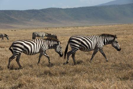 animals 063 zebra. 版權商用圖片