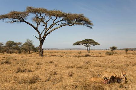 animals 039 lion. Stock Photo