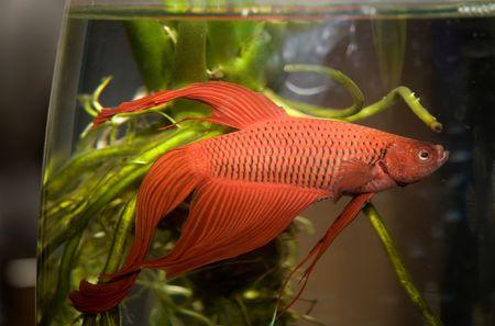 goldy: acqua della vita 001 pesci in acquario