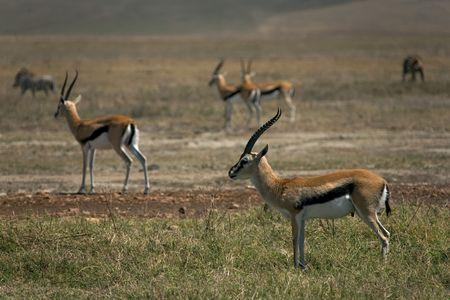 animals 081 gazelle. Imagens - 352472