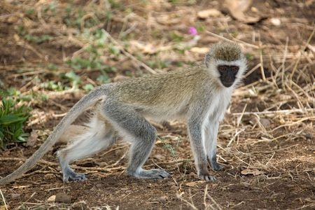 animals 083 monkey. Imagens - 358524