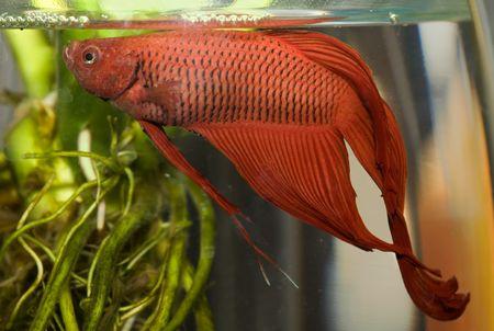 goldy: water life 004 fish in aquarium Stock Photo