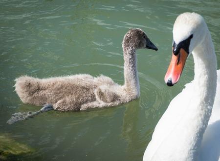 cygnet: Swan family on the Balaton lake Stock Photo