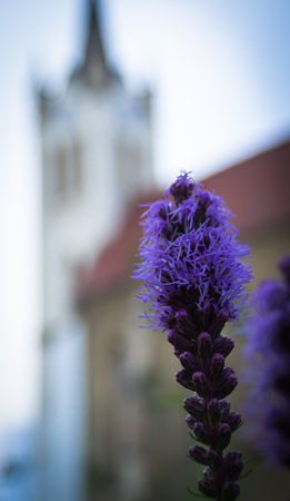 violet residential: Tall fluffy blue flower on the town background