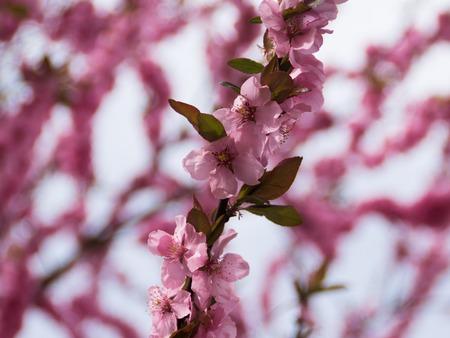 blossoming: Sakura blossoming flowers spring tree.