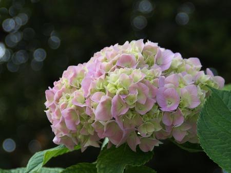 whiteness: Closeup image of pink and white hydrangea
