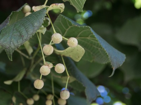 limetree: Fruit stand of a silver Linden tree