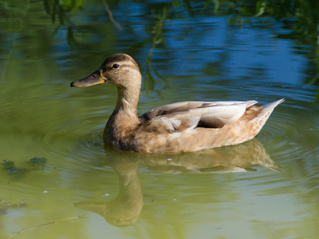 Beautiful wild duck in the pond with reflections