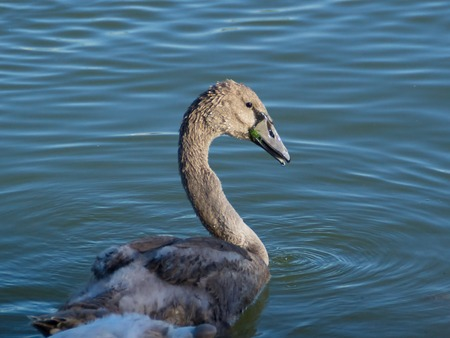 cygnet: Beautiful young swan, aka cygnet, on the lake Balaton, summer 2016 in Hungary