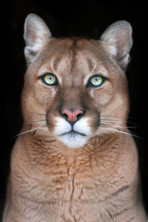 Puma portrait with beautiful eyes on black background Banque d'images