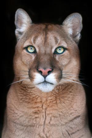 ritratto Puma con i bei occhi su sfondo nero Archivio Fotografico