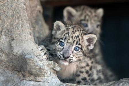 Nieve del leopardo del bebé del retrato Foto de archivo - 62692264