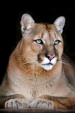 Puma portrait on black background Standard-Bild