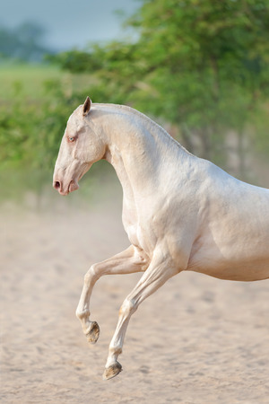 grey eyed: Achal-teke horse run free outdoor Stock Photo