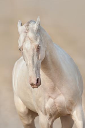Achal-teke horse run free outdoor Stock Photo