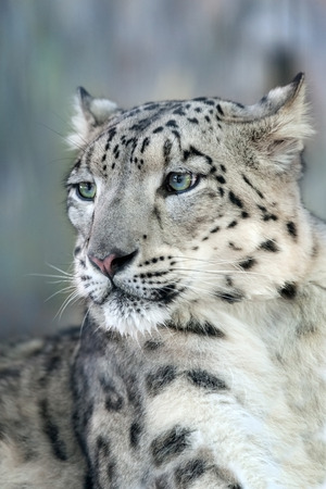 Close up snow leopard portrait