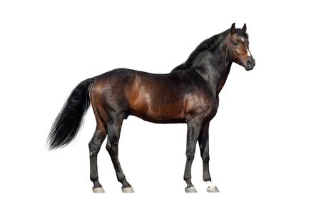 Bay Horse Außen isoliert auf weißem Hintergrund Standard-Bild - 66001916