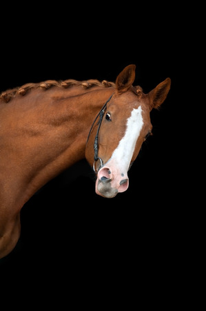 nostril: Red horse portrait on black background Stock Photo