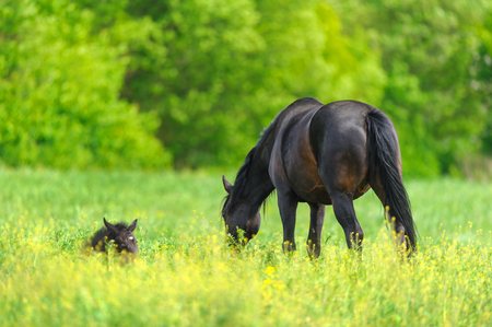 Mare with foal on spring pasture grazing