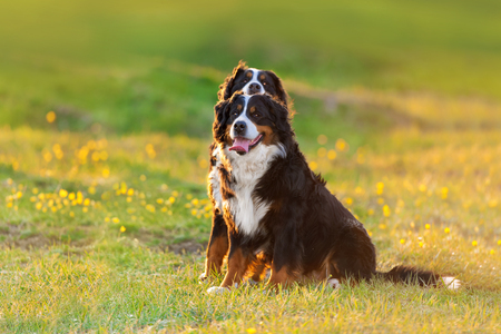 Two bernese mountain dog on spring flower field at sunset light Stock Photo