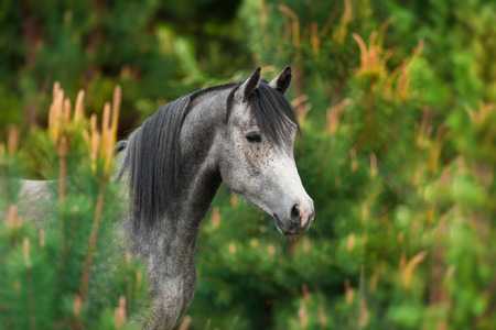 Grey arabian horse portrait in trees