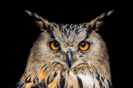 Portrait of eagle owl on black background 스톡 콘텐츠