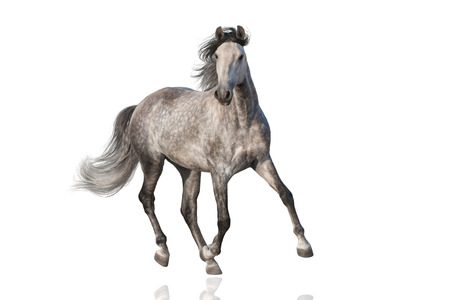 White horse run isolated on white background Stock Photo