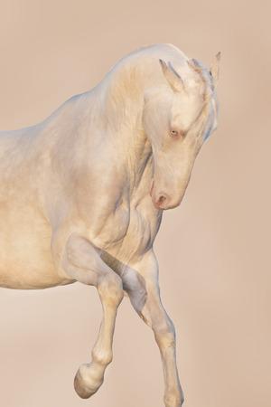 Cream akhalteke horse portrait in motion Stock Photo