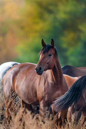 Bay horse portrait in herd against autumn forest background
