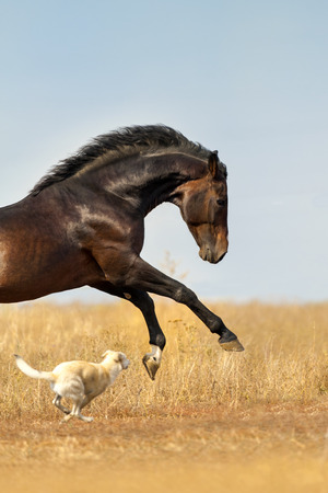 Bay horse run and play with dog
