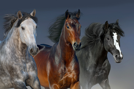 Horses portrait run isolated on dark background Banque d'images