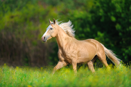 Beautiful palomino horse with long blond mane run on spring meadow