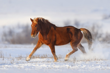 horse in snow: Red horse trotting in snow