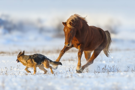 Red horse play with german shepherd god in snow field Stock Photo