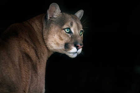 Puma, cougar portrait on black background Stock Photo