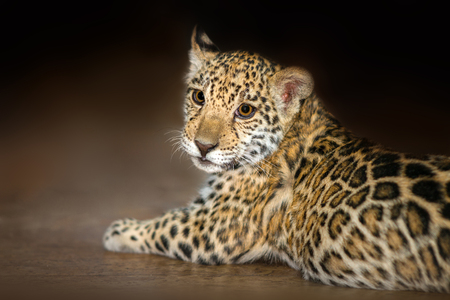 Beautiful baby jaguar lay  on dark background Banque d'images