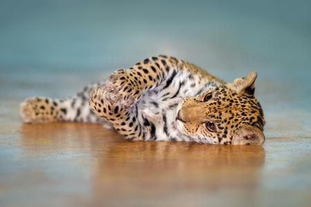 Beautiful baby jaguar lay funny