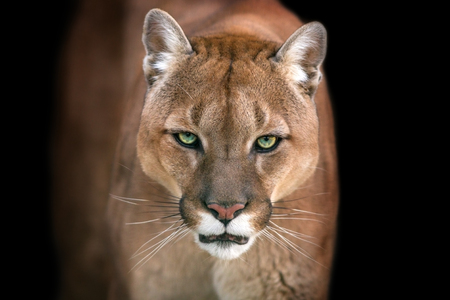 Puma, cougar portrait on black background 免版税图像