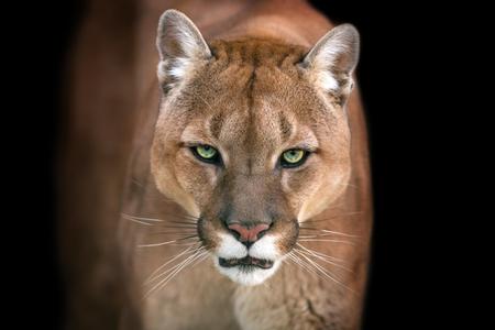 Puma, ritratto puma su sfondo nero Archivio Fotografico